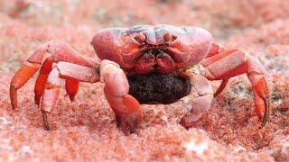 Female Crab Eats Young on the Run || ViralHog