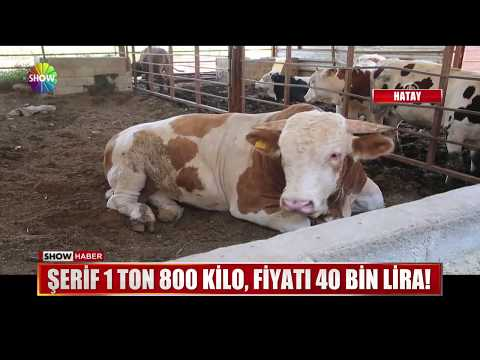 Şerif 1 ton 800 kilo, fiyatı 40 Bin Lira!