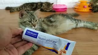 Vitamin Kucing Terbaik. Vitamin Untuk Membuat Kucing Gemuk.