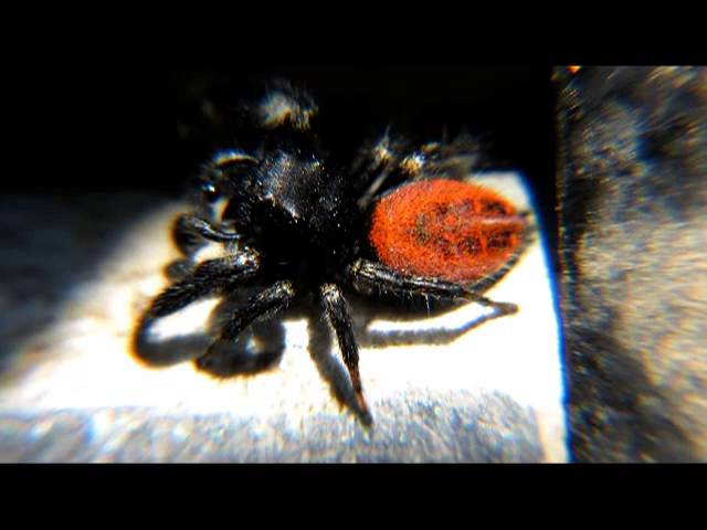 Red backed jumping spider bite