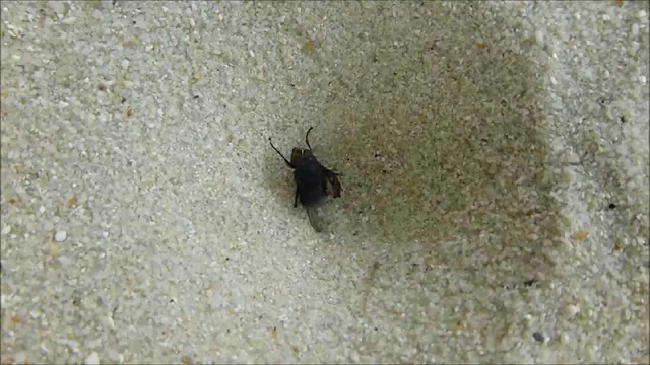 mouche bleue et larve de fourmilion fatale rencontre par andr lequet. Black Bedroom Furniture Sets. Home Design Ideas