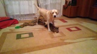 Пес пристает к кошке