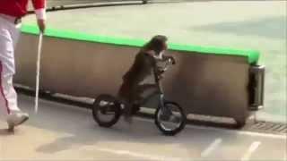 Bear vs Monkey Race Ends Horribly! (Bear Gets Mad He's Losing So He Eats Monkey)