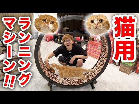 I bought a big, running machine for cats! Will or will not Maruo & Mofuko run!?
