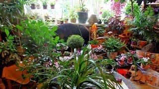 как я ухаживаю за комнатными растениями(Описание., 2016-06-18T08:24:38.000Z)