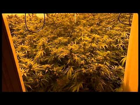 cannabis raid with police
