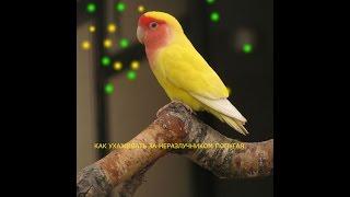 как ухаживать за неразлучником  попугая