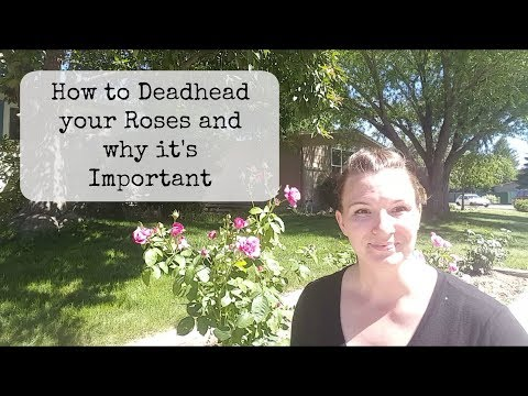 How To Deadhead Your Roses And Why Its Important