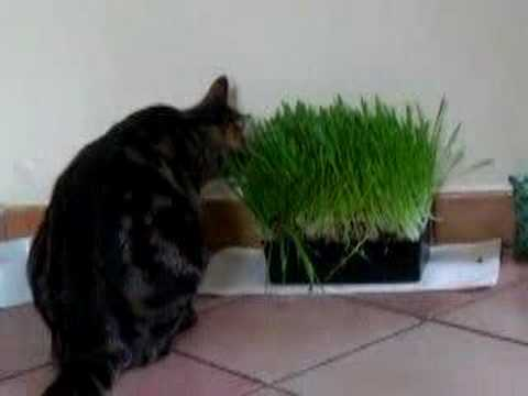 Kikou et l 39 herbe chat youtube - Herbe a chat ...