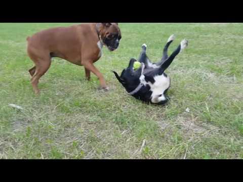 boxer dog Jack and pitbull playing