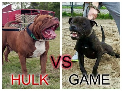 Pitbull hulk vs Pitbull game ¿Quien ganaria?