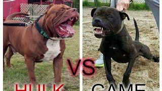Pitbull hulk vs Pitbull game ¿Quien ganaria?