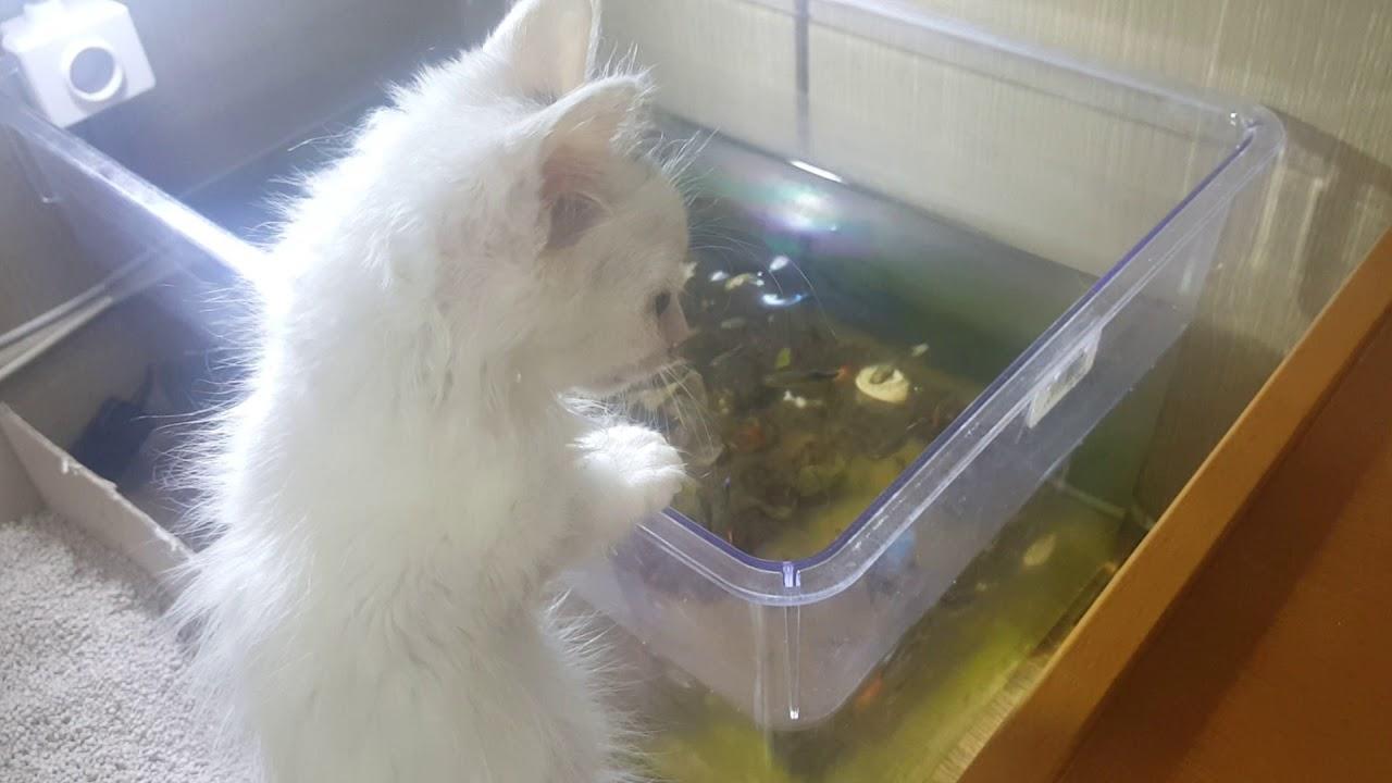 Turkish Angora Cat Kitten Short Hair D 56 2 Youtube
