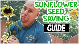 Harvesting Sunflower Seeds - Saving Sunflower Seeds (Easy Way)