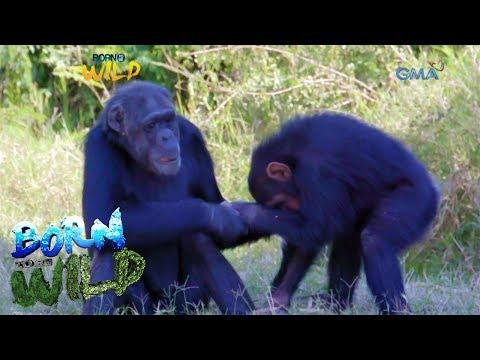 Born to Be Wild: Doc Nielsen visits chimpanzees in Kenya