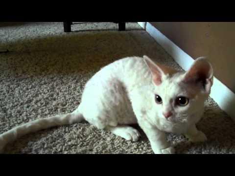 Devon Rex kitten plays fetch
