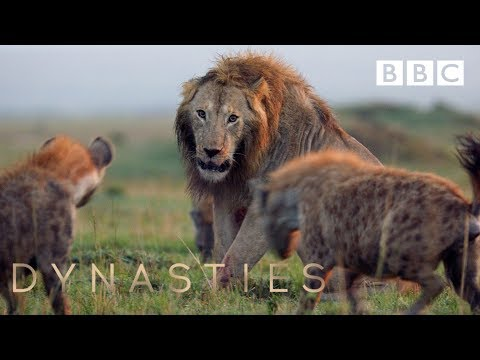 20 hyenas attack a lion | FULL CLIP | Dynasties