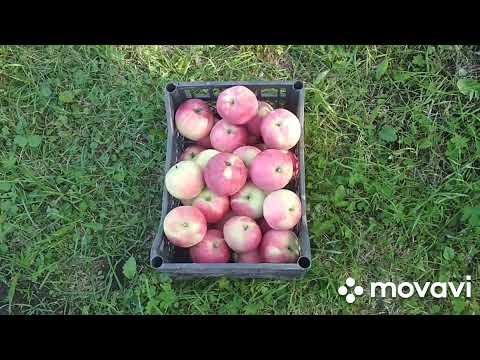 яблоня слава победителям хороший сорт для домашнего сада