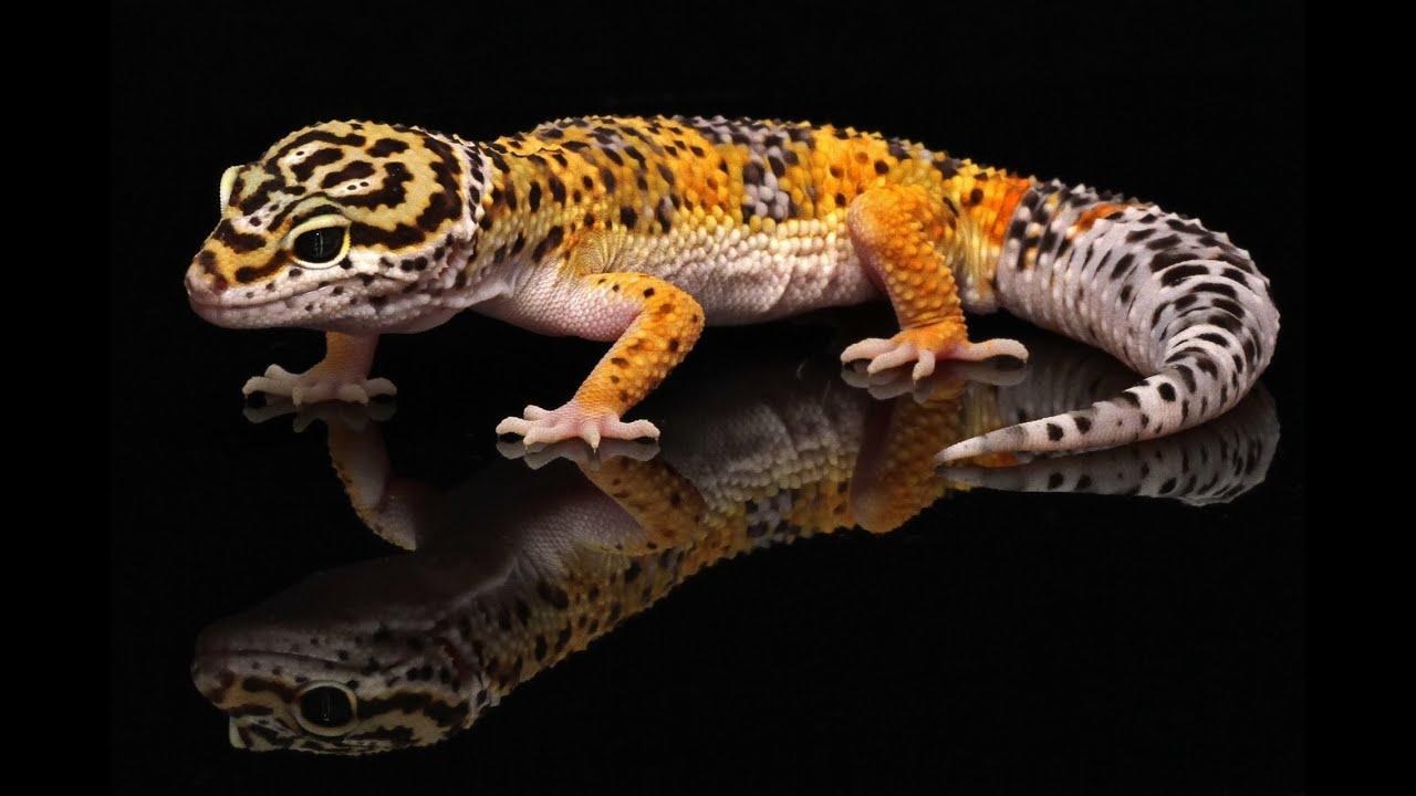 Ten Most Common Leopard Gecko Morphs - YouTube  Ten Most Common...