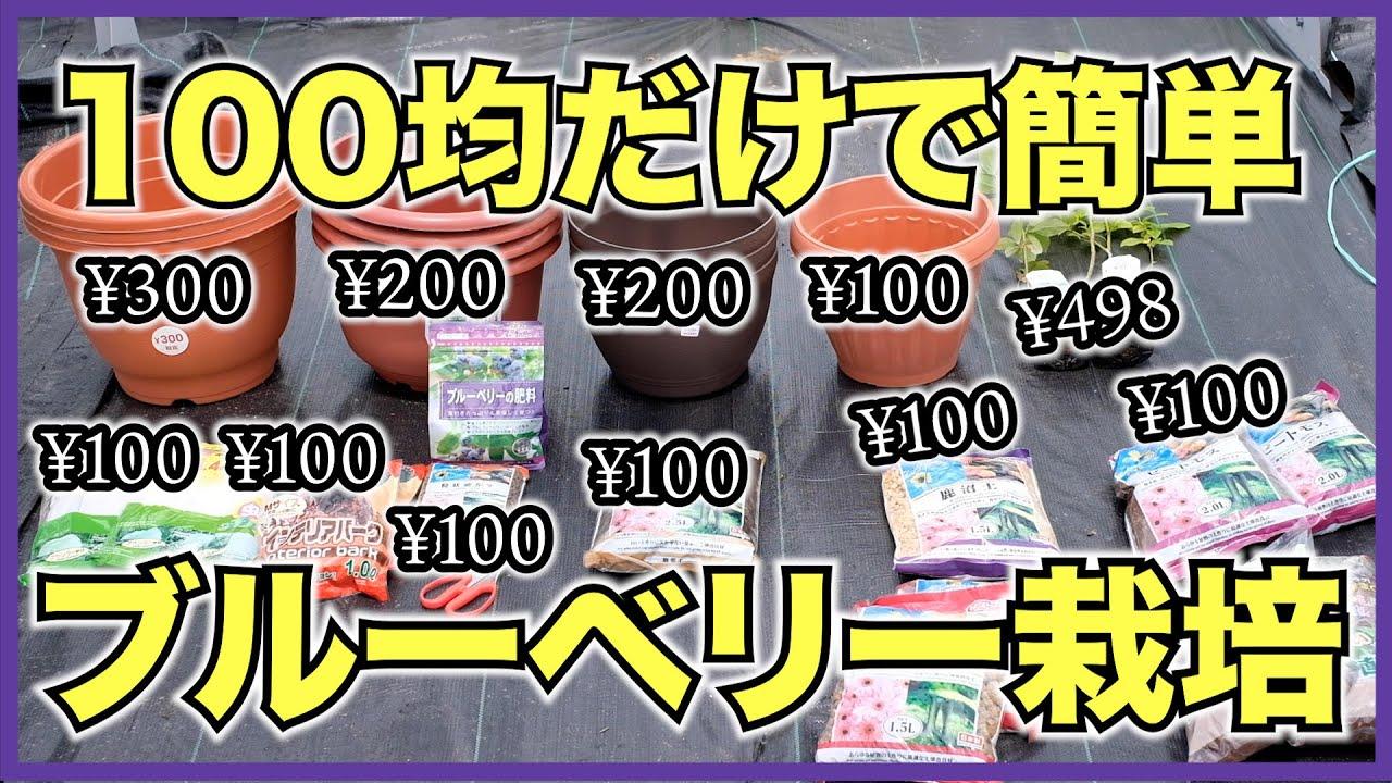 100円ショップの土と肥料、植木鉢でブルーベリーを育てる方法【自宅で簡単に果樹栽培】