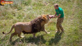 Вожак прайда кормит своих львов. Олег Зубков. Тайган. Man feeds lions from the hands. Taigan