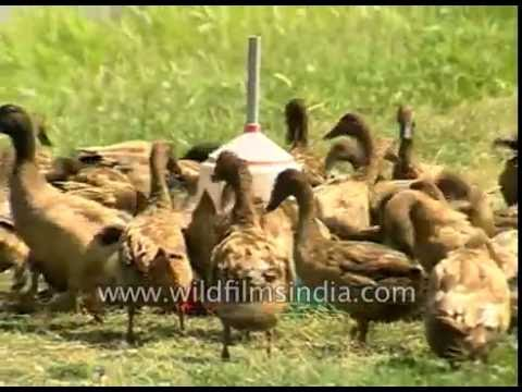 Duck and fish farming in Assam : rural economy agricultural mainstays