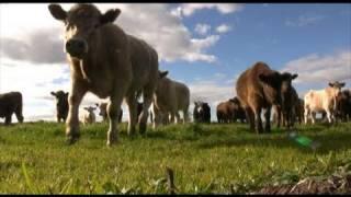 COWS vs CAMERA!
