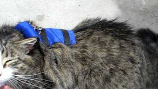 Former Stray Cat Walking On A Leash Give Strays/homeless Cats A Chance. They Are Very Special.