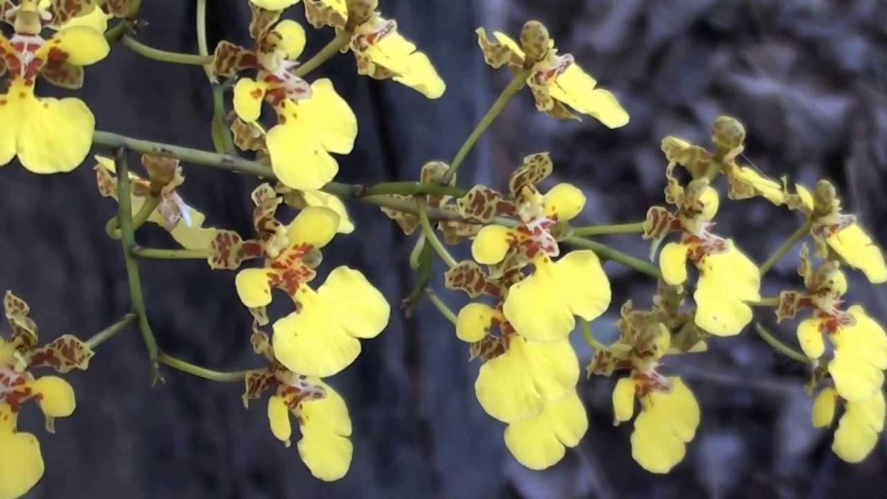 Oncidium cebolleta, Orquídeas, Matas ciliares, Mato Grosso do Sul, , YouTube