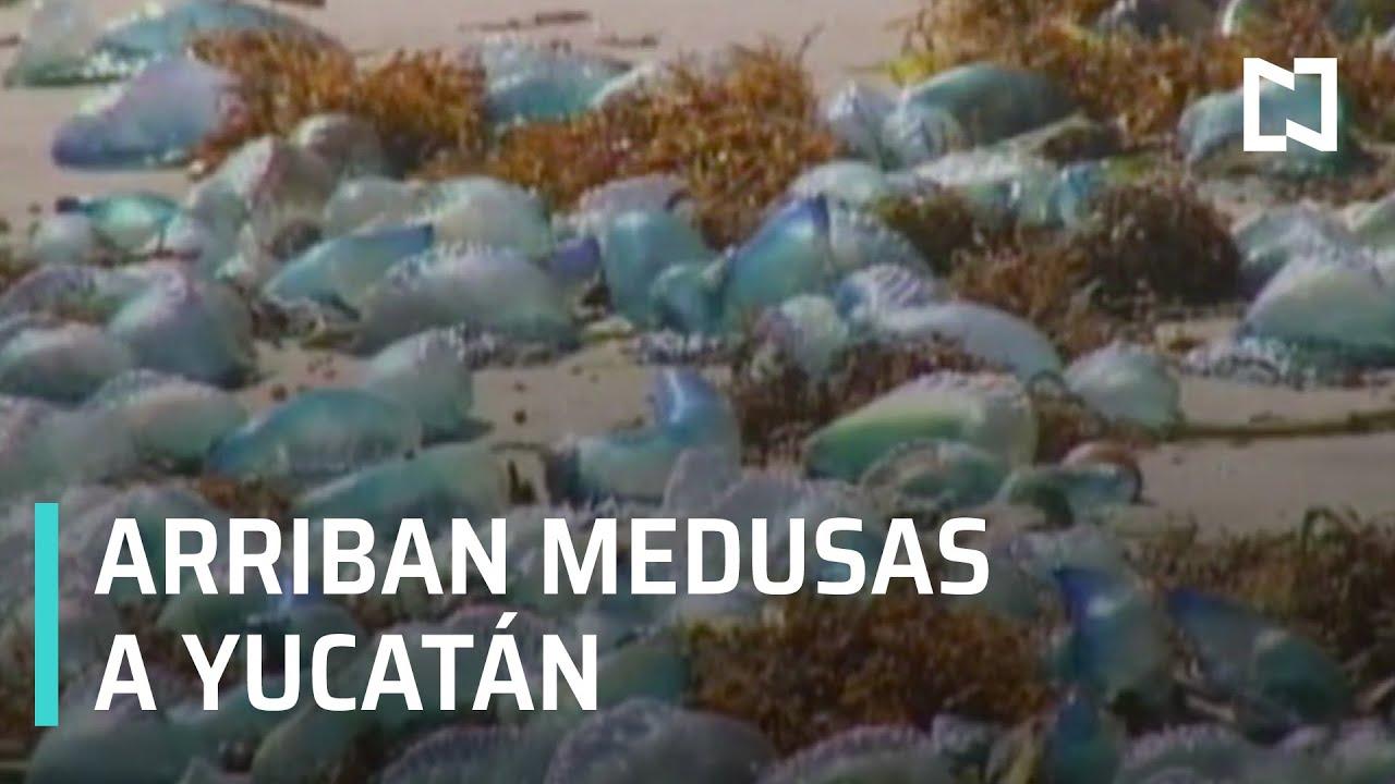Medusas en las costas de Yucatán - Las Noticias