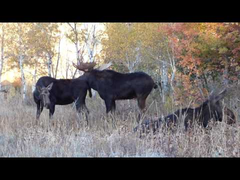 Big Bull Moose Rut