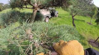 Cloud Pruning a Pinus Sylvestris. Part 1