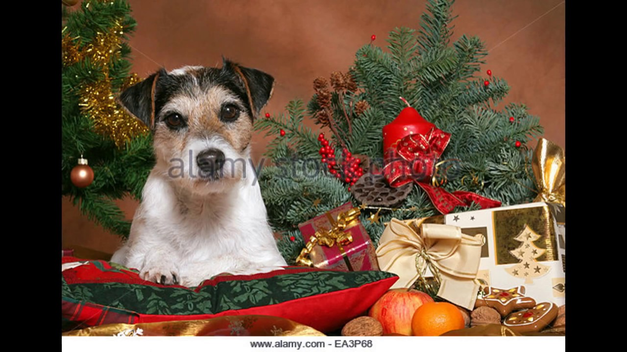 Jack Russell wishes you Merry Christmas - YouTube