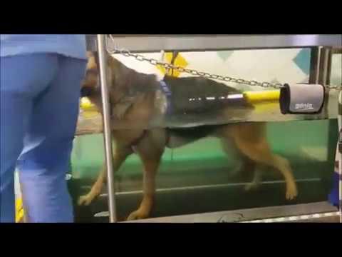 Tapis Roulant In Acqua Per Cani Riabilitazione Del Pastore Tedesco Youtube