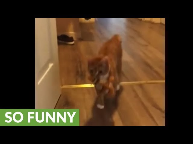 Cat plays fetch while dog just watches