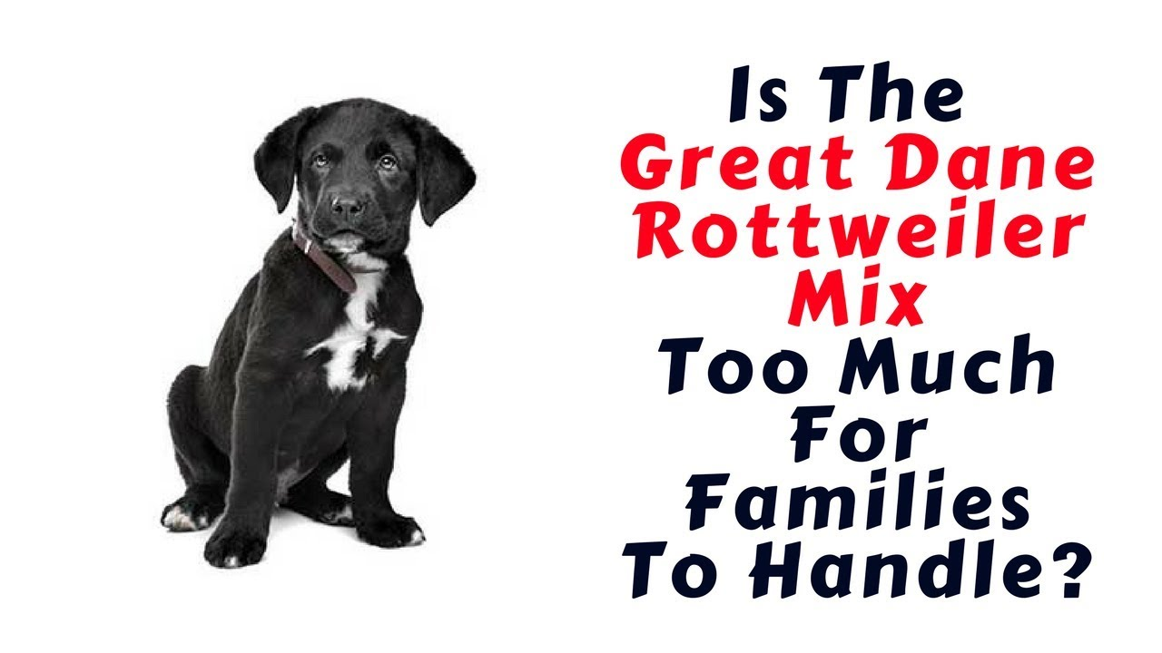 All About The Great Dane Rottweiler Mix Ultimate Guide Youtube