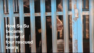 #PleikuBearRescue - how shy Su Su became a leader of bears