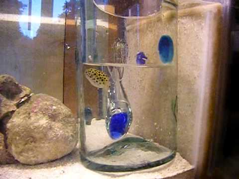Green Spotted Puffer From Brackish To Salt