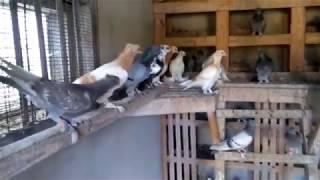 Бойные голуби АЛЧЕВСКА.
