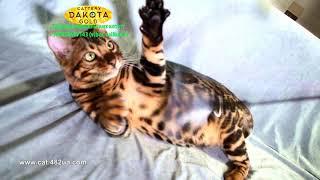 Boy 3, Dakota Gold, bengal cat, cattery, kitten, 07122018