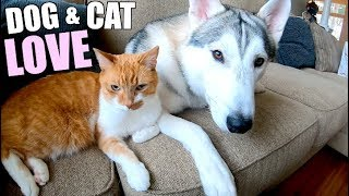 Do Cats & Huskies Get Along? (The Age-Old Myth Solved)
