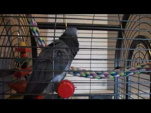African grey swearing at toy