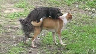funny dog sex (size does matter)  ο κοντος σκυλος