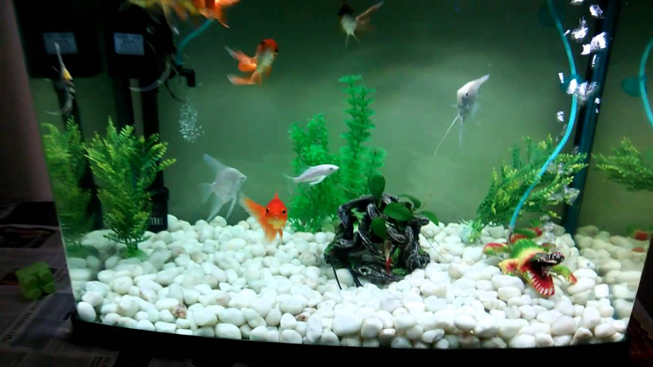 Home aquarium with gold fish angel fish carps youtube for Tropical fish tank fish
