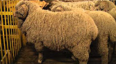 Объявления о продаже домашних и сельскохозяйственных животных в грозном на avito.