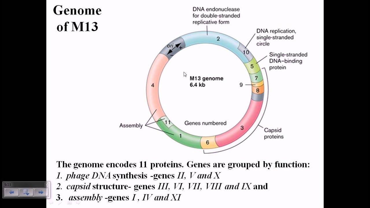 m13 phage genome structure