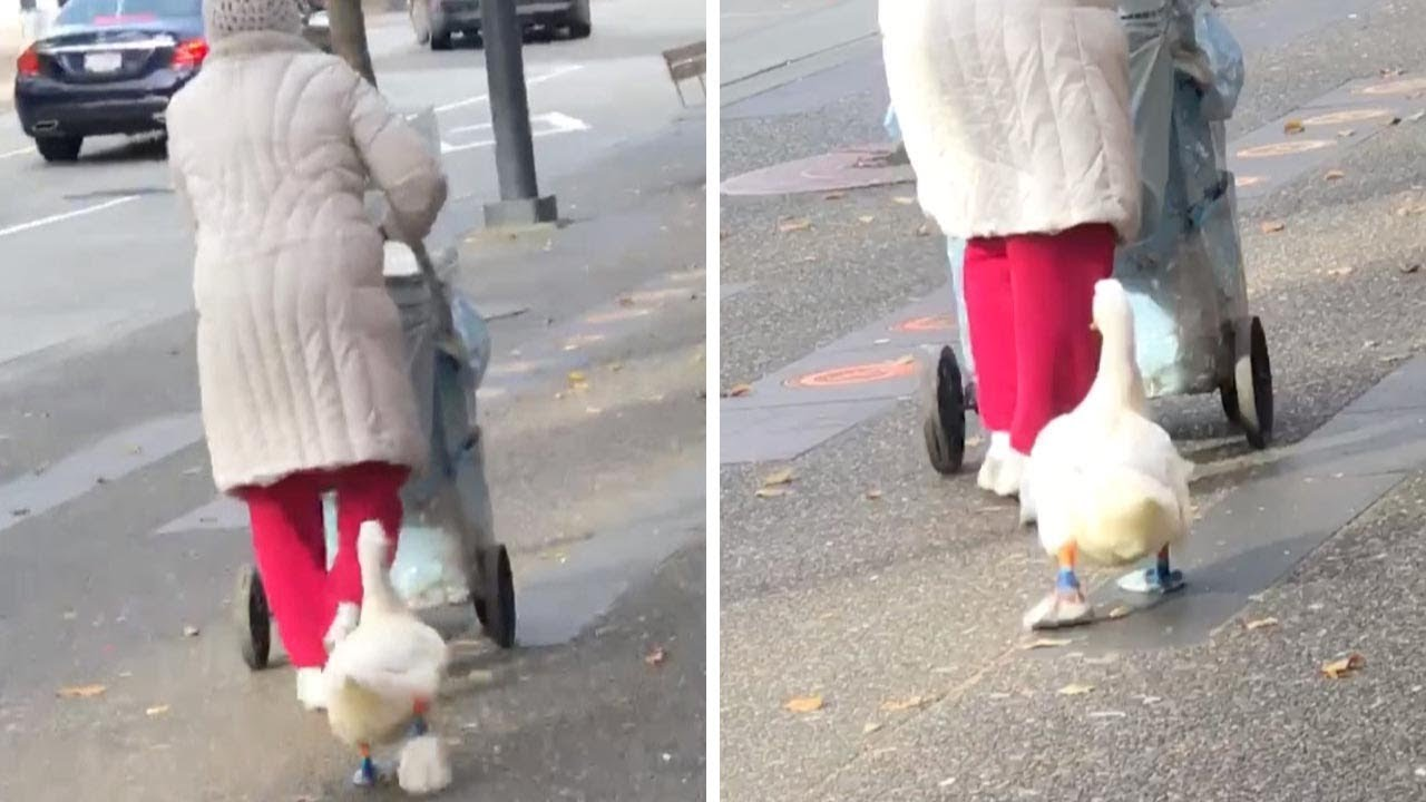 Duck Spotted Wearing Shoes - YouTube