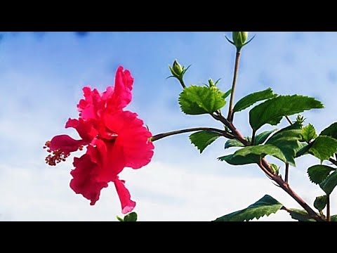 Benefits Of Hibiscus Flower Hibiscus Tea Benefits Urdu Hindi Youtube