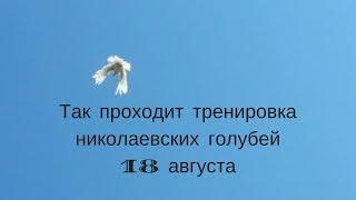 Так проходит тренировка николаевских голубей 18 августа