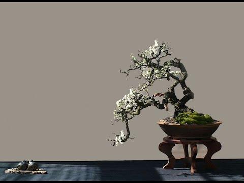 Blackthorn Native Flowering Bonsai Tree